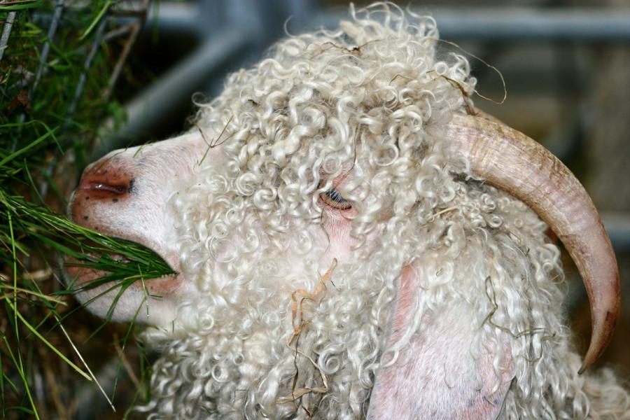 Postignuta rekordna cijena moher vune!