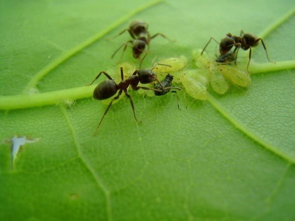 Kako se riješiti mrava na prirodan način?