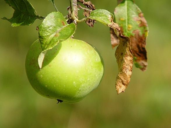 Kako prirodno suzbiti krastavost jabuke?