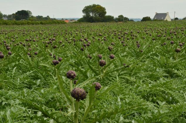 Savjeti za uzgoj artičoke - povrća bogova