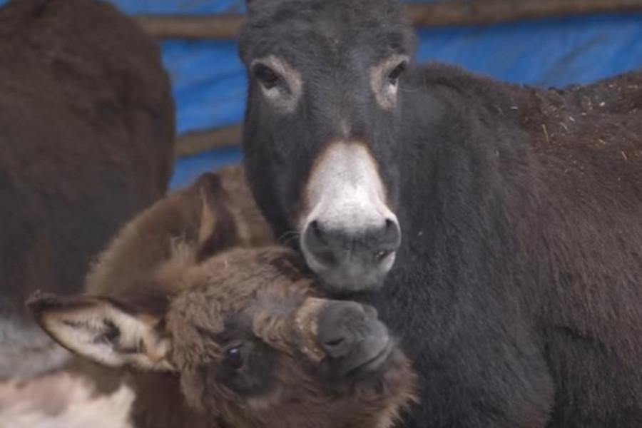 Uzgoj magaraca - ljubav koja skupo košta