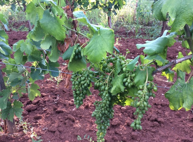 Bayer savjeti za vinogradare 11.-17.07.2017.