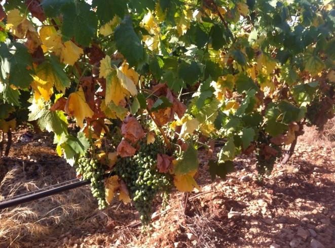 Bayer savjeti za vinogradare 21.-24.07.2017.