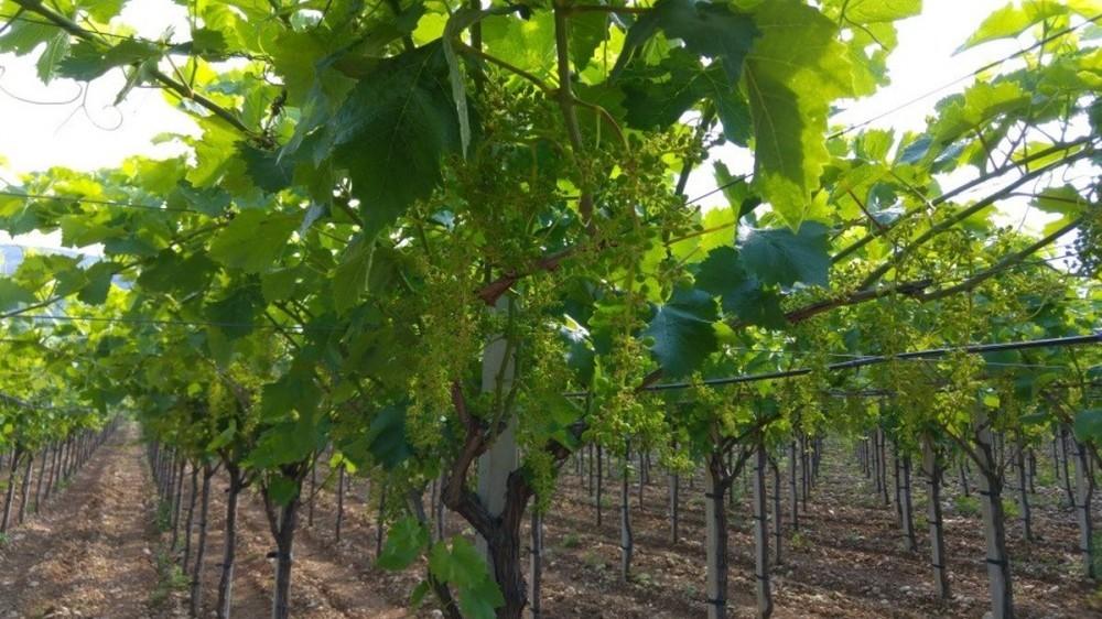 Bayer savjeti za vinogradare 13.-19.6.2016.