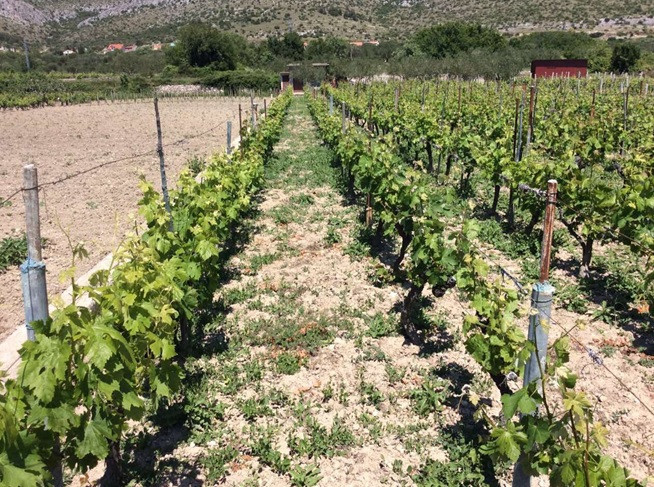 Bayer savjeti za vinogradare 22.-29.05.2017.