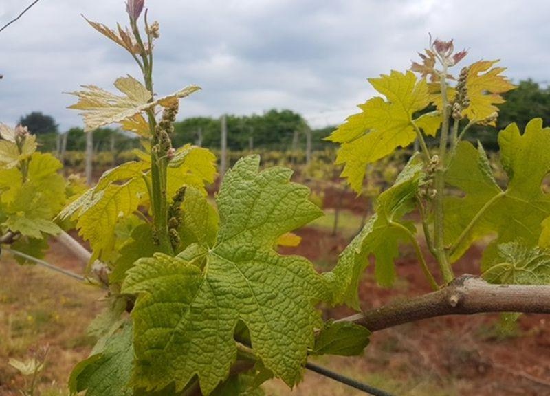 Bayer savjeti za vinogradare 24.04.-01.05.2017.