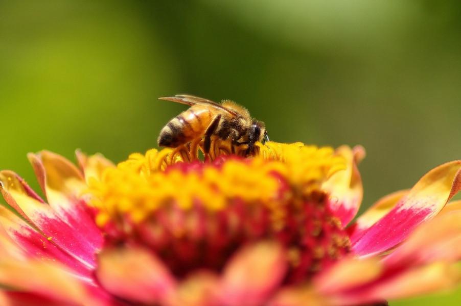 Pčele više privlače autohtone biljke