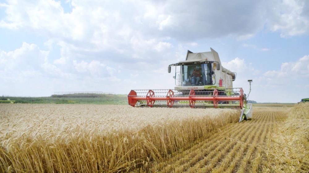 Belje ruši rekorde: prinosi pšenice 8,8 tona po hektaru