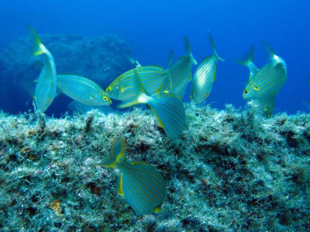 Smeđa alga na plovilima čuva morski ekosustav?