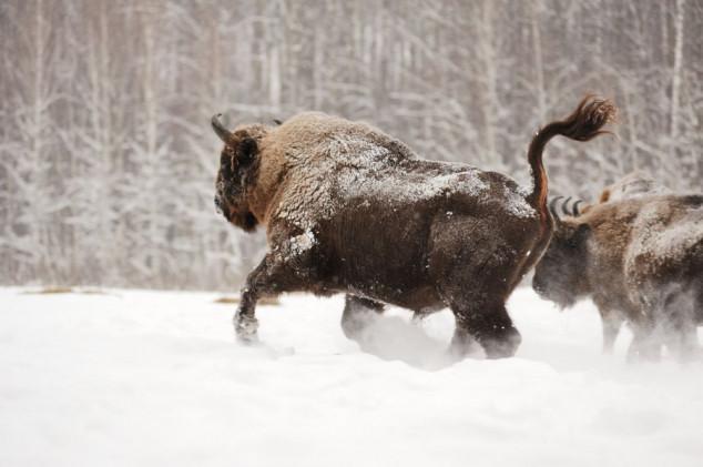 Poljaci love bizone da bi ih zaštitili?