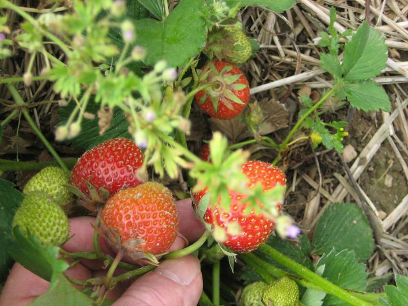 Britanski farmeri traže uvoz sezonaca iz BiH