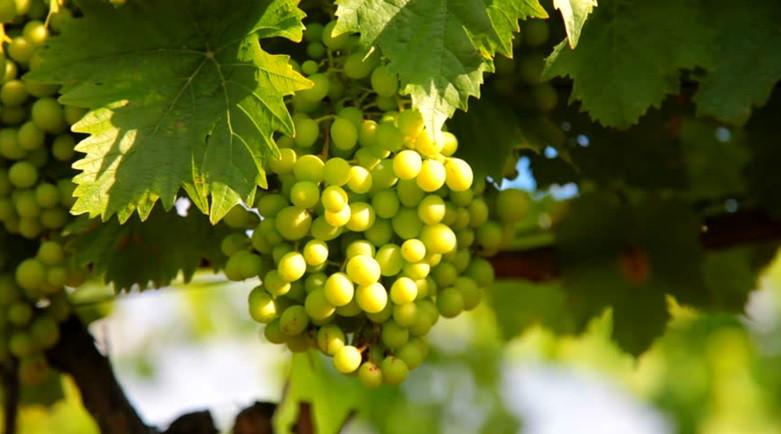 Vrijeme je za zaštitu vinove loze pred cvatnju