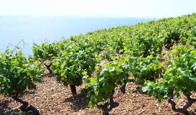 Vinogradari, zaštitite vinograd od opasnih bolesti