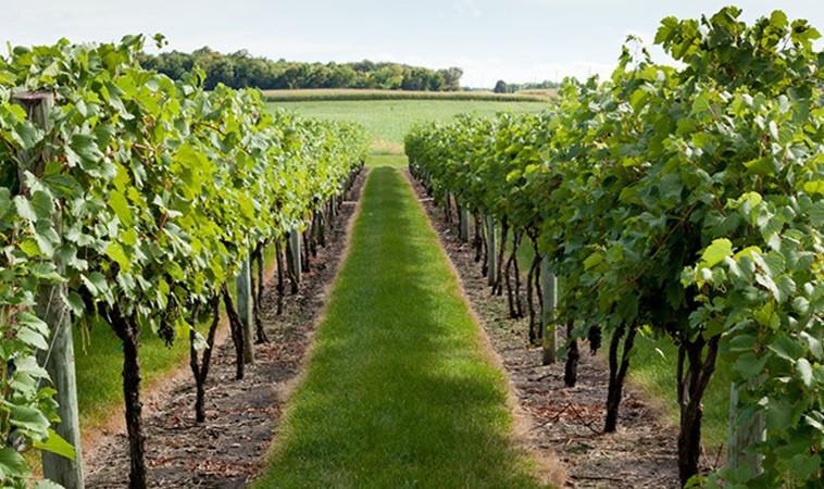 Zaštita vinove loze nakon cvatnje