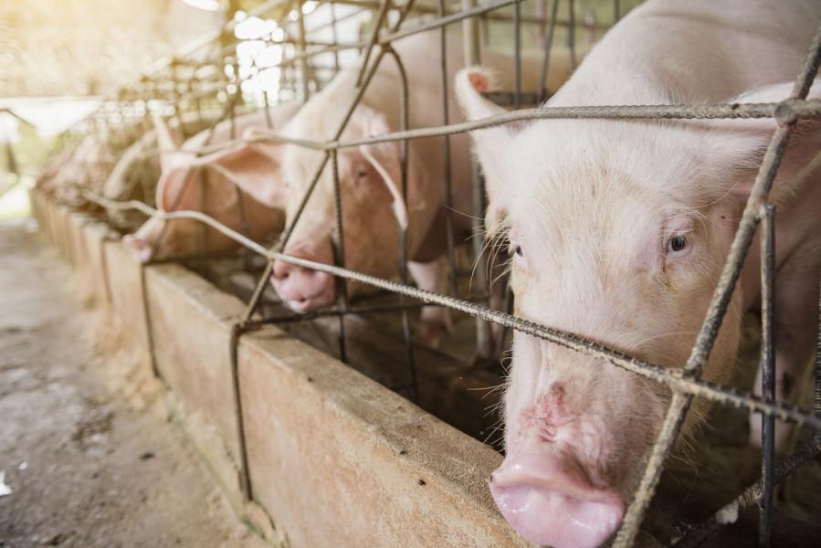 Cijene svinja i dalje će rasti?