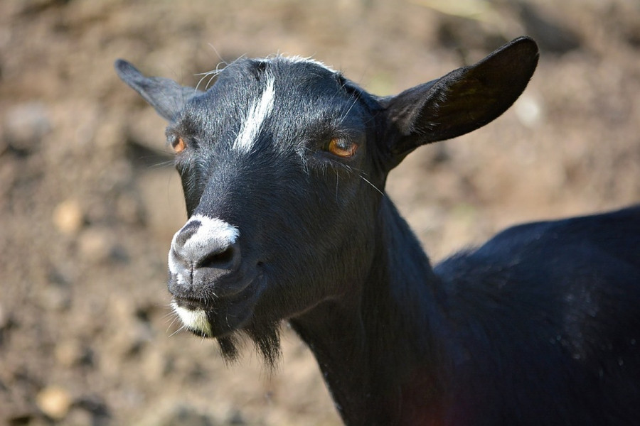Koza donela na svet crno jare