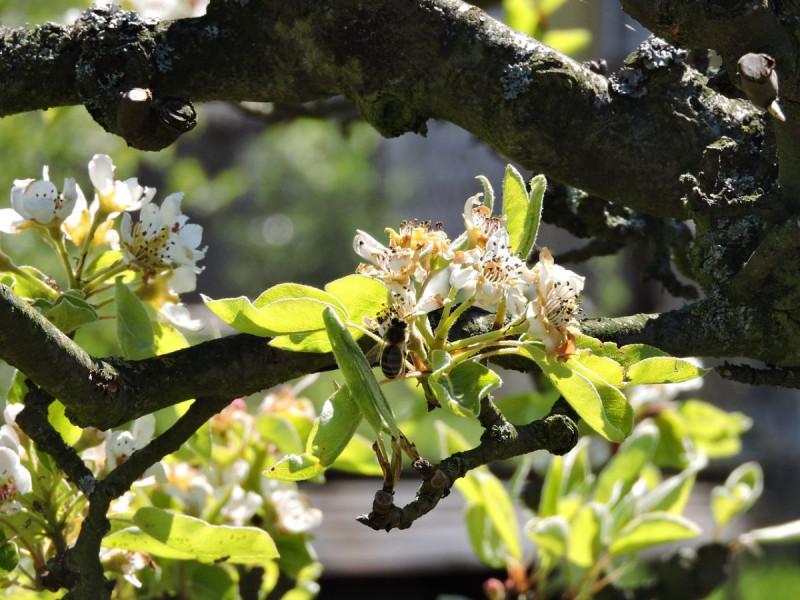 Zaštita jabuke nakon cvatnje