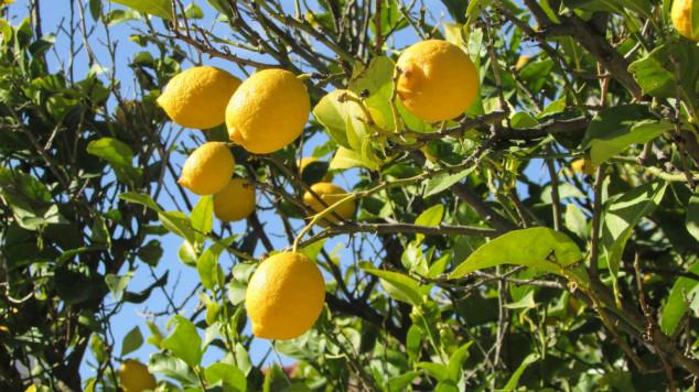 Jesenska gnojidba maslina, nara i agruma