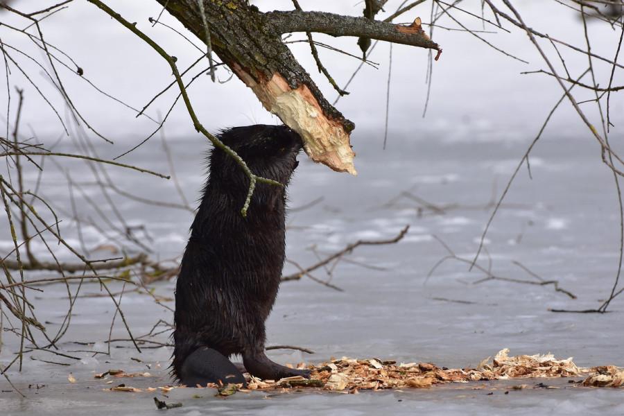 Dabrovi oglodali vrbe uz rijeku Dravu