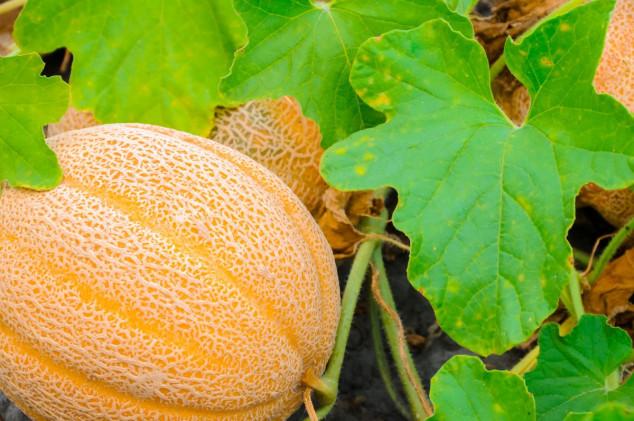 Pravilnom rezidbom do krupnih plodova