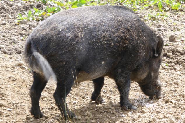 Divlje svinje - problem poljoprivrednika