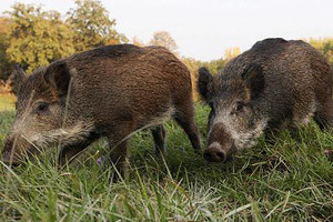 Križanci divlje i domaće svinje uništavaju usjeve