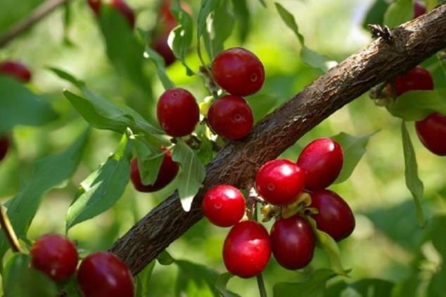 Drijen - zaboravljeno voće, ali i ekonomski resurs