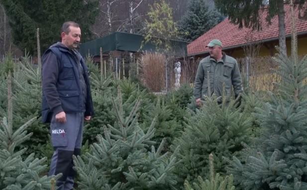 Islužena božićna drvca pretvaraju u energiju