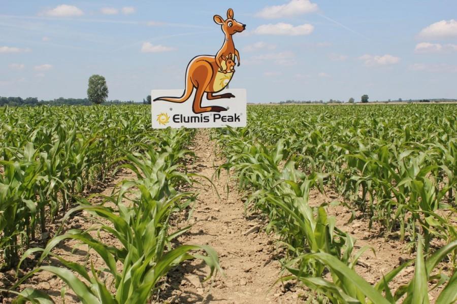 Kako i kada suzbiti korove u kukuruzu? (24953) - Ratarstvo - AgroKlub.com