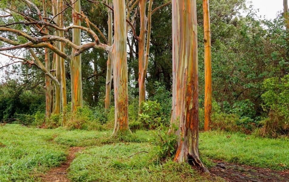 Dugin eukaliptus, najšarenije stablo na svijetu!