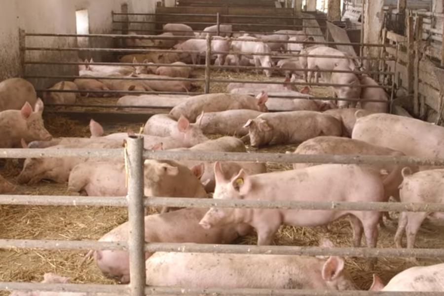 Čantavir: Nema vakcinacije svinja