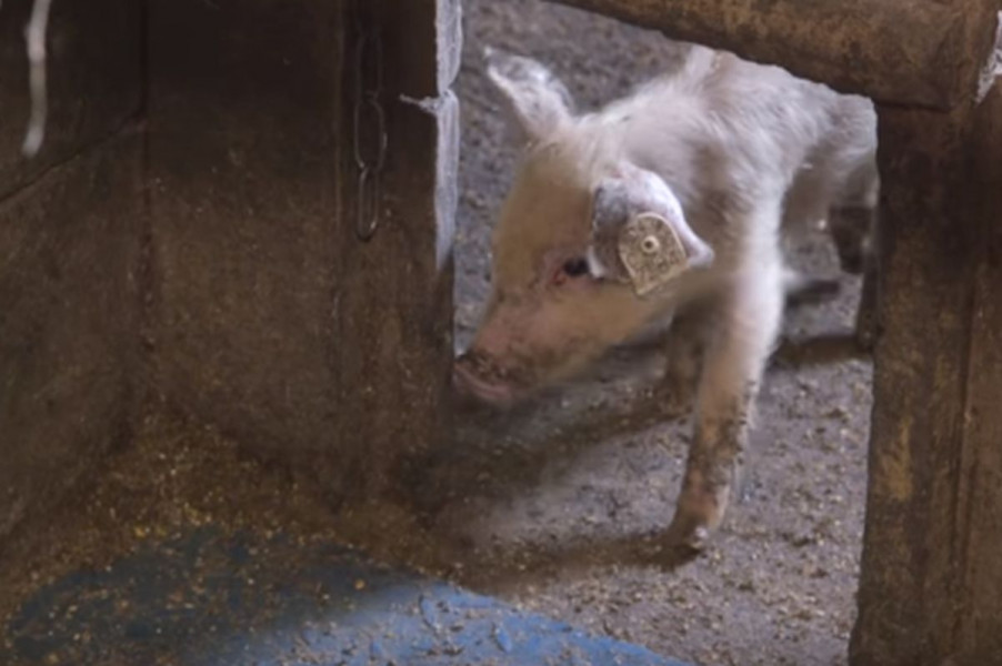 Farma svinja po skandinavskom sistemu