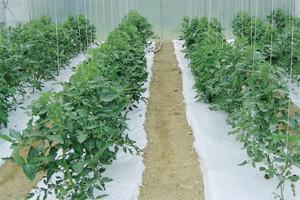 Pokrivanje tla folijama u uzgoju povrća