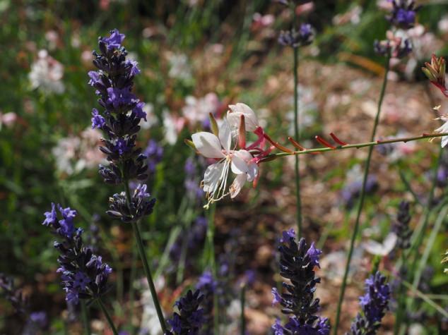Gaura - grmolike biljke koje osvajaju dvorišta