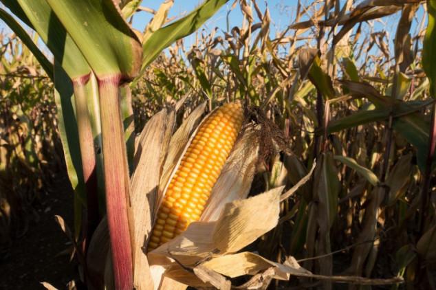 U Brazilu odobren uvoz GMO kukuruza