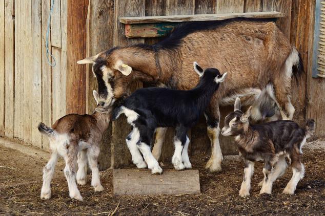 Da li su koze sirotinjska krava?