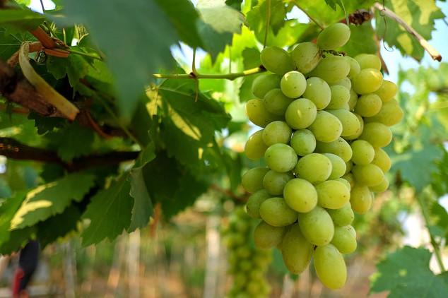 Proizvodnja grožđa u Srbiji manja nego lane