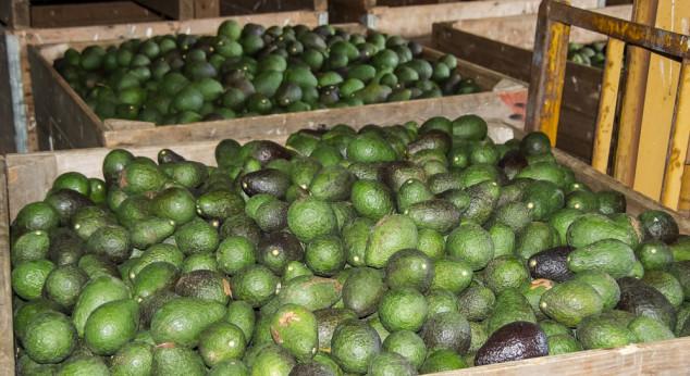 Očekuje se još avokada iz Meksika