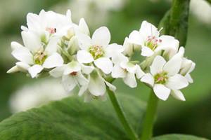 Heljda - proteinska biljka budućnosti