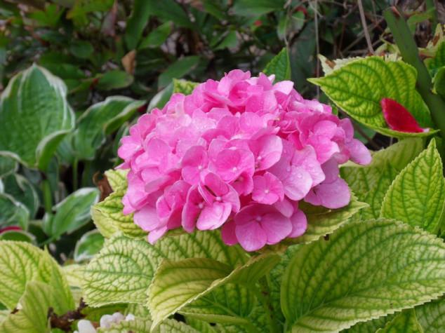 Za rezidbu hortenzija pričekajte proljeće