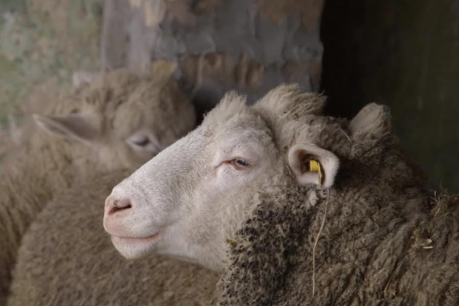 Uzgoj ovaca iz ljubavi