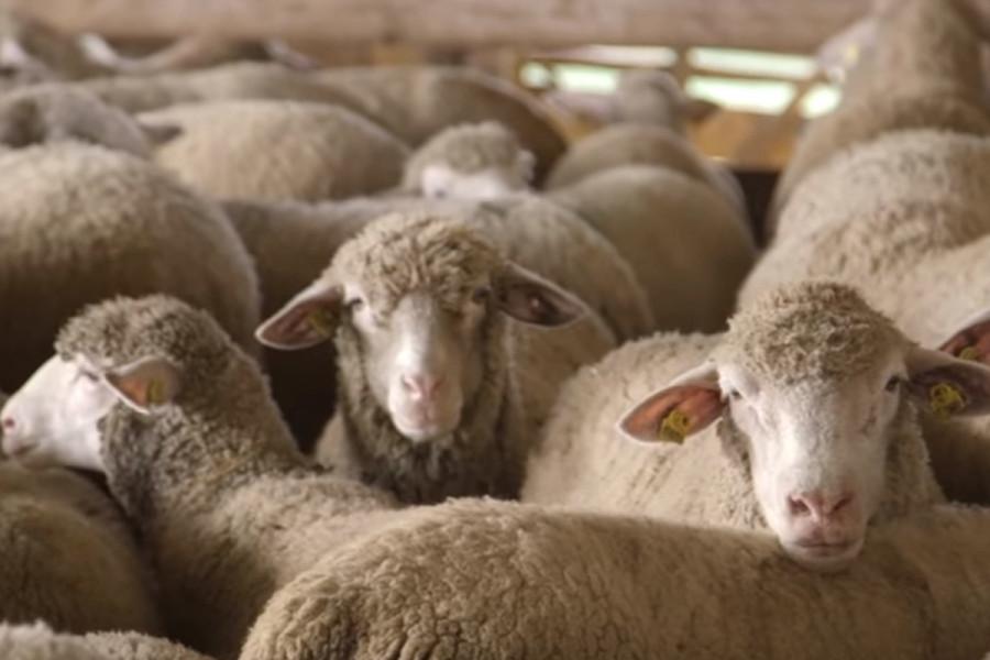 Kvalitetne ovce - rezultat genetike i selekcije