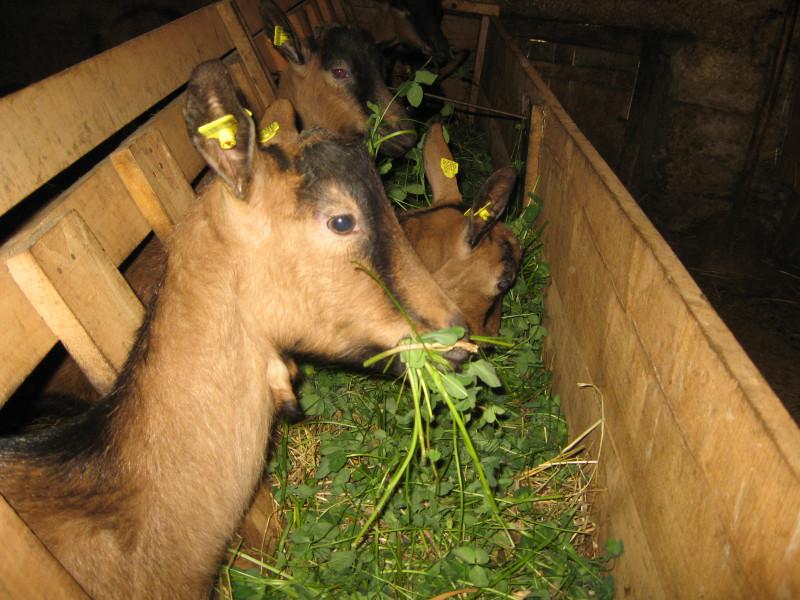 Pravilna ishrana koza