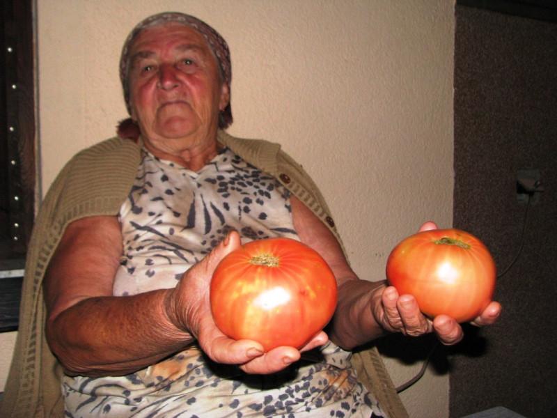 Prenose sjeme paradajza sa koljena na koljeno
