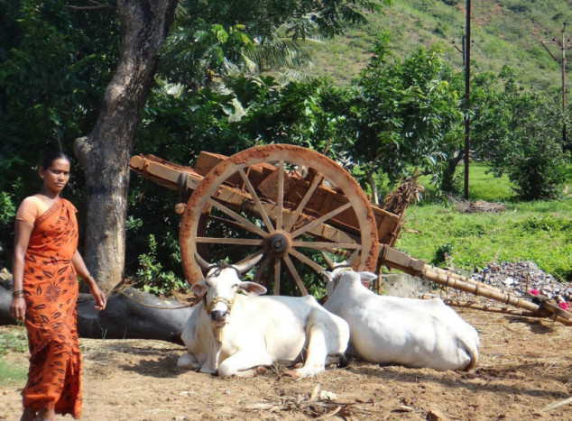Indijska goveda imat će svoj jedinstveni broj!