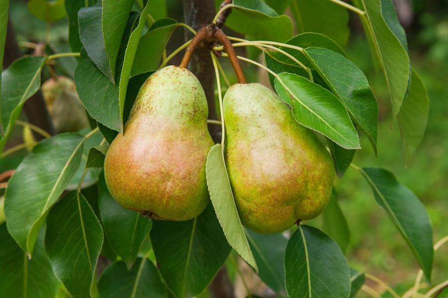 Aduti - malina, kornišon, šljiva, jabuka i kruška