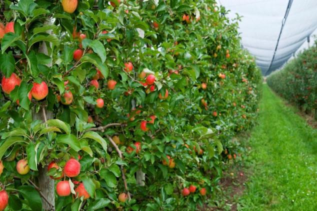 Zaštita jabučastog  voća tokom letnjih meseci