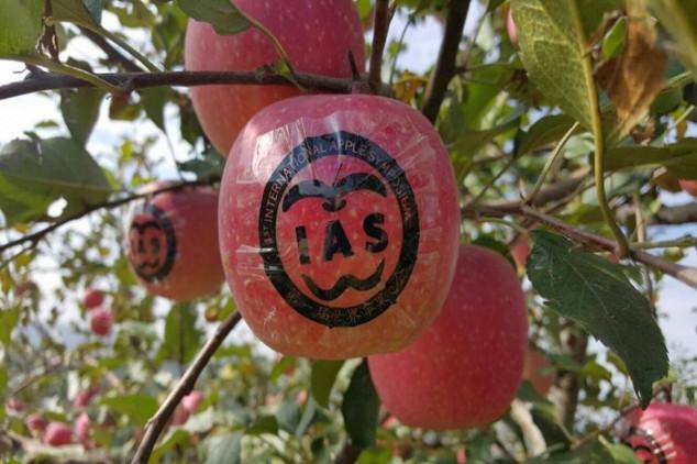 Šumadinac među kineskim jabukama