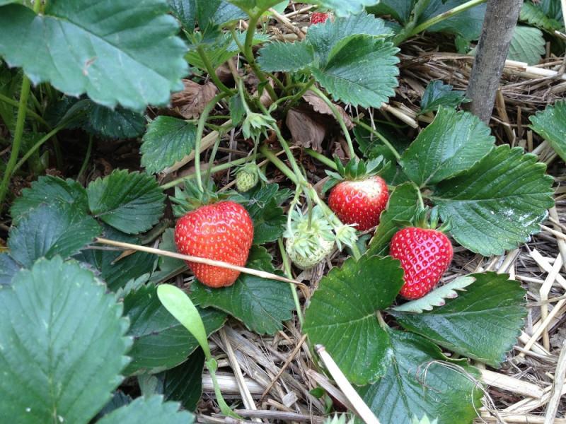 Uzgoj jagoda riskantan, prinos teško prognozirati