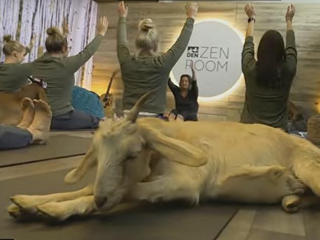U zračnoj luci putnici vježbali jogu s kozama
